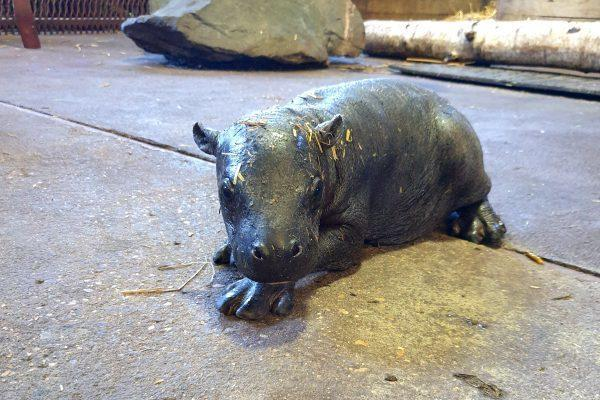 Clacton and Frinton Gazette: Visitor will hopefully be able to see the zoo's new pygmy hippo in a few weeks