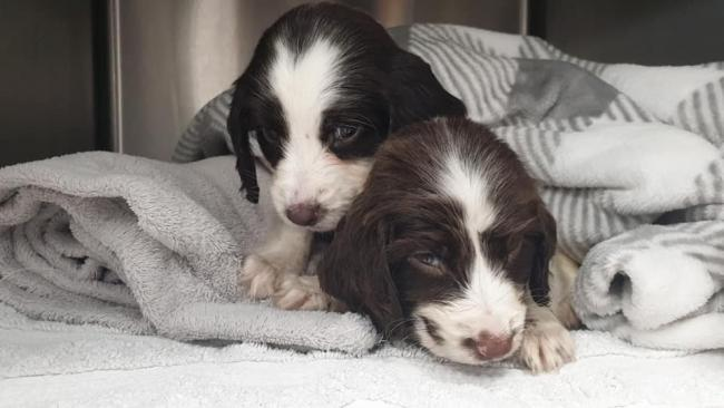 The puppies were dicovered in a layby by a passing cyclist (Source: RSPCA)