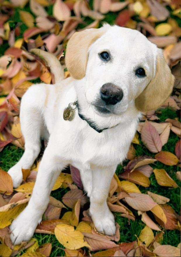 Guide dog pups need homes