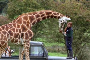 Boost for endangered giraffe species after calf born at Port Lympne reserve