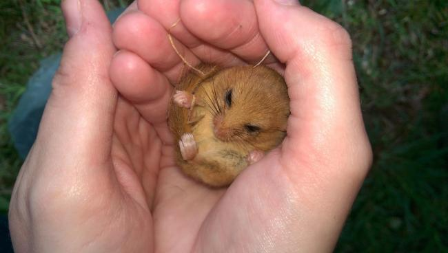 FAST ASLEEP: A somnolent dormouse found at Great Holland. Photo Bob Seago