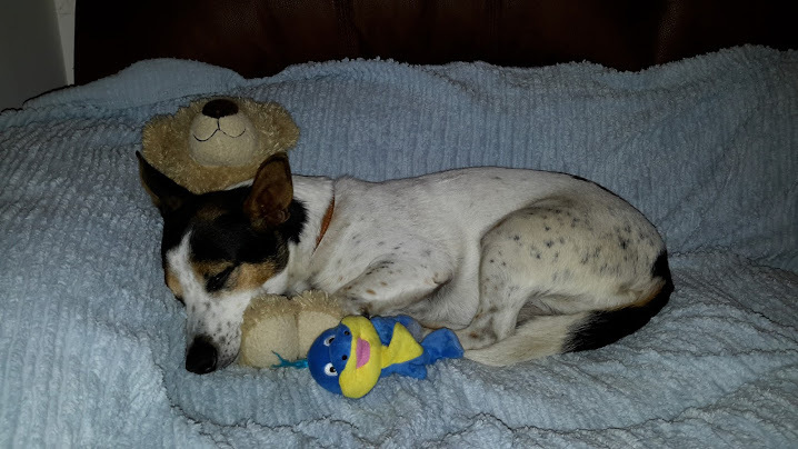"PERFECTLY FRANK: This week's Star Pet is 10-year-old jack russell Frank. Owner Amanda Olley, of Weeley Heath, said: ""He loves to curl up with his cuddly toys."" Send your Star pets to cf.gazette@newsquest.co.uk, with your name, address and wh"