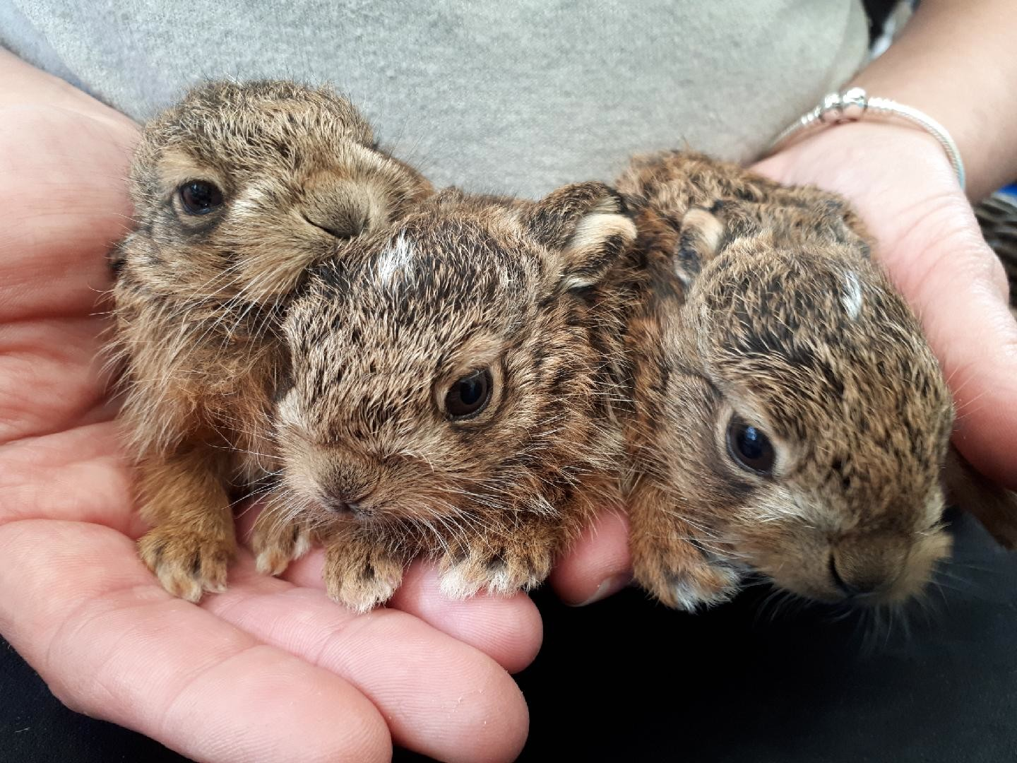 The trio of baby hares which were handed in at Wildlives animal sanctuary in Thorrington.