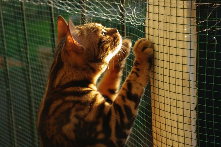 Bengal cat stuck behind a fence. Picture: Stock image